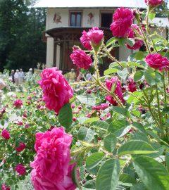 Rosenblüte auf der Insel (12)