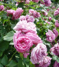 Rosenblüte auf der Insel (13)